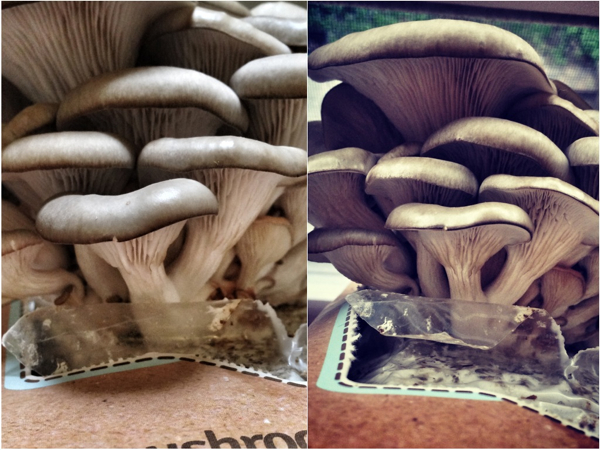 Grow your own Mushrooms Back to the Roots Day 11 Mardi Michels eatlivetravelwrite.com