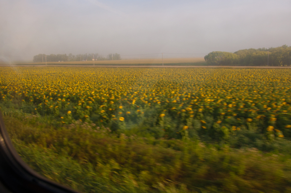 Sunflowers whooshing by the window on VIA Canadian on eatlivetravelwrite.com