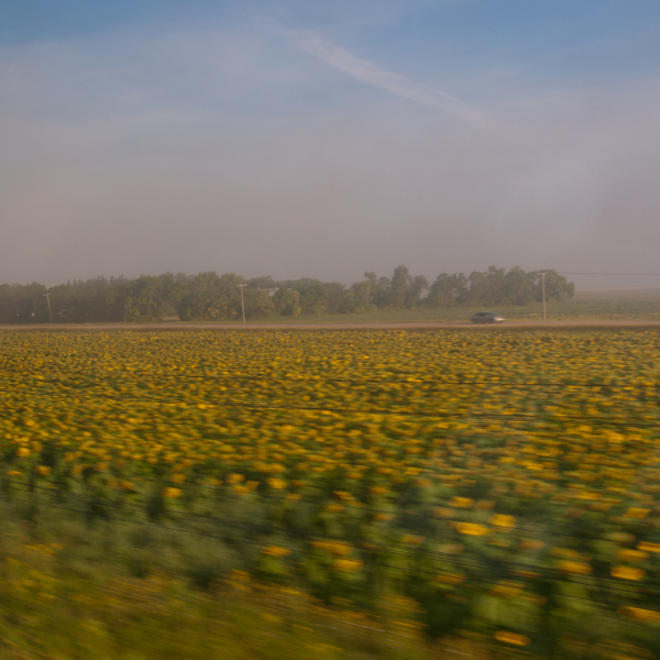 Sunflower fields speeding by on VIA Rail Canadian on eatlivetravelwrite.com
