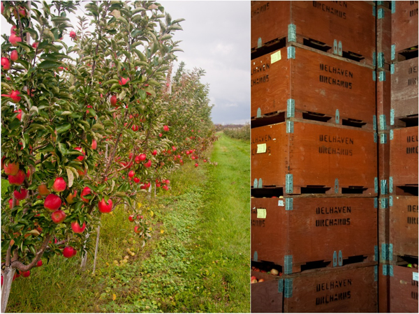 Apple Orchards at Delhaven in Blenheim on eatlivetravelwrite.com