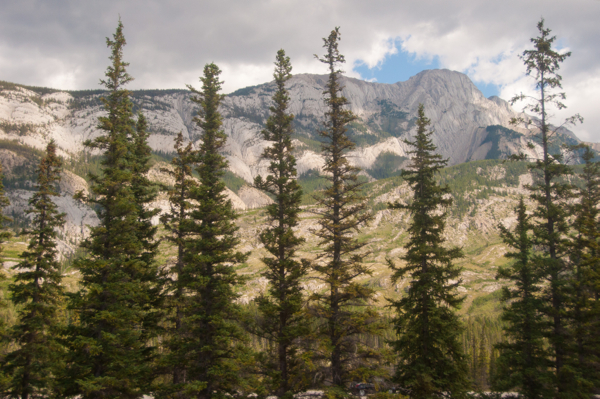 Pine trees on the way to Jasper on eatlivetravelwrite.com