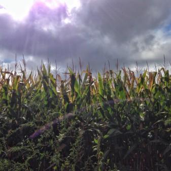 In the cornfields on eatlivetravelwrite.com