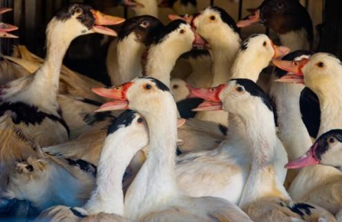 Ducks in Gascony on eatlivetravelwrite.com