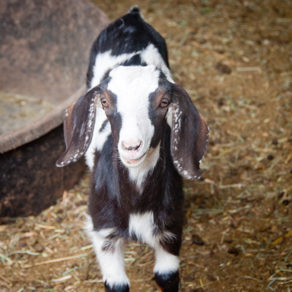 Goat at Carmelis on eatlivetravelwrite.com