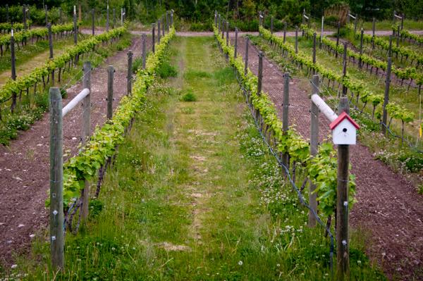 Tantalus Winery vines on eatlivetravelwrite.com
