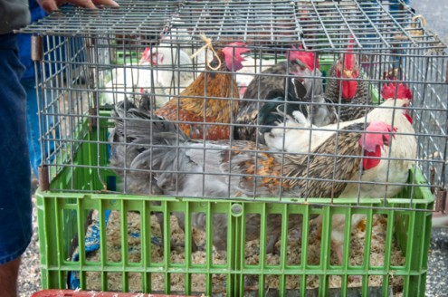 Chickens at the Bayeux market on Delicious Normandy tour eatlivetravelwrite.com