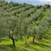 Olive trees on Shutterstock on eatlivetravelwrite.com
