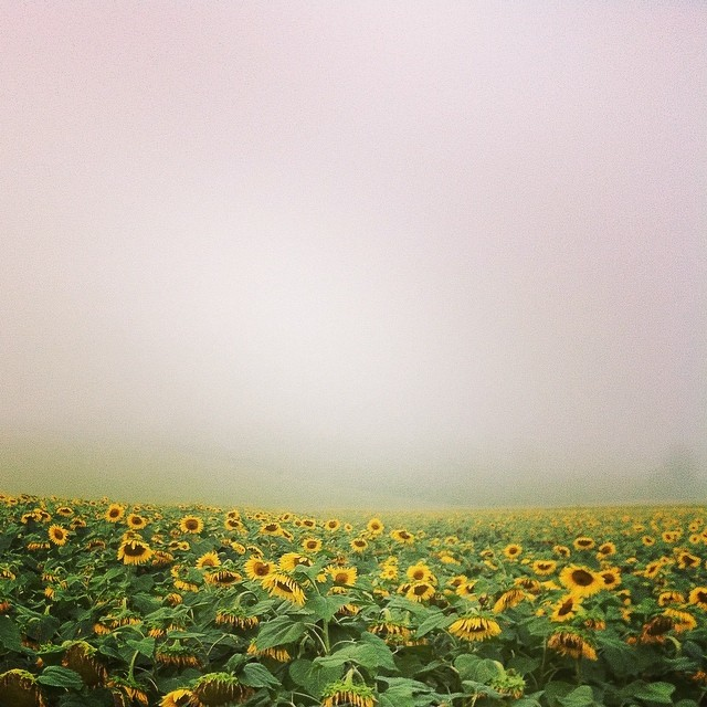 Sunflowers in Gascony on eatlivetravelwrite.com