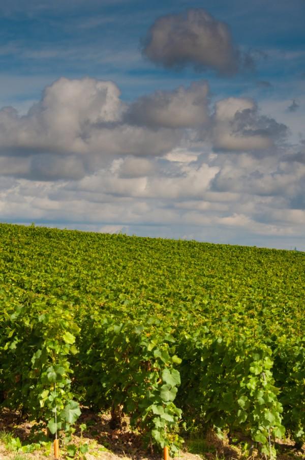 Vineyards around Champagne on eatlivetravelwrite.com