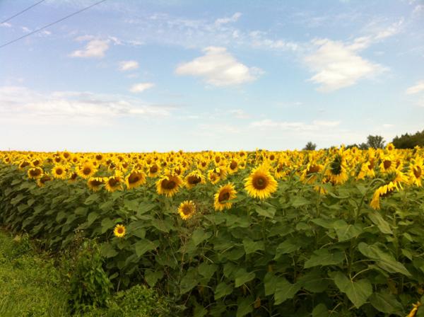 Gascon sunflowers on eatlivetravelwrite.com
