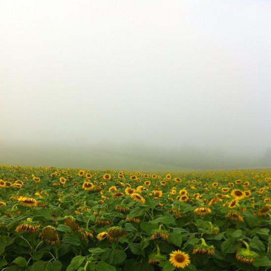 Sunflowers in Gascony on eatlivetravelwrite.com