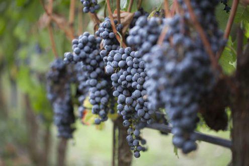 Chianti harvest image on eatlivetravelwrite.com