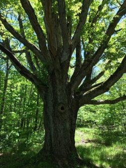 Big oak at Viamede Resort on eatlivetravelwrite.com