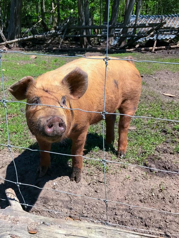 Meeting the pigs at Viamede Resort on eatlivetravelwrite.com