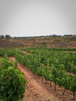 Vinyards in Rioja on the Camino de Santiago from Navarrete to Najera on eatlivetravelwrite.com