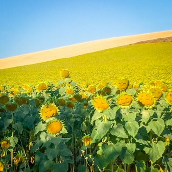 Sunflowers with faces on the Camino de SAntiago on eatlivetravelwrite.com