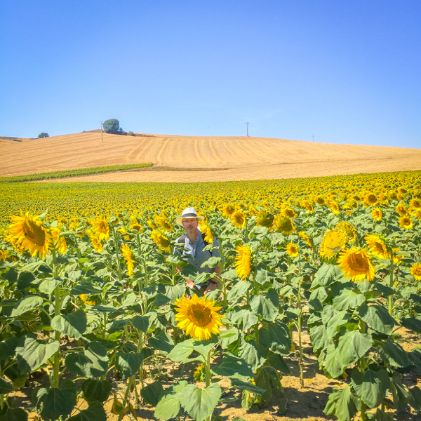 Neil in the sunflowers for scale on the Camino de SAntiago on eatlivetravelwrite.com