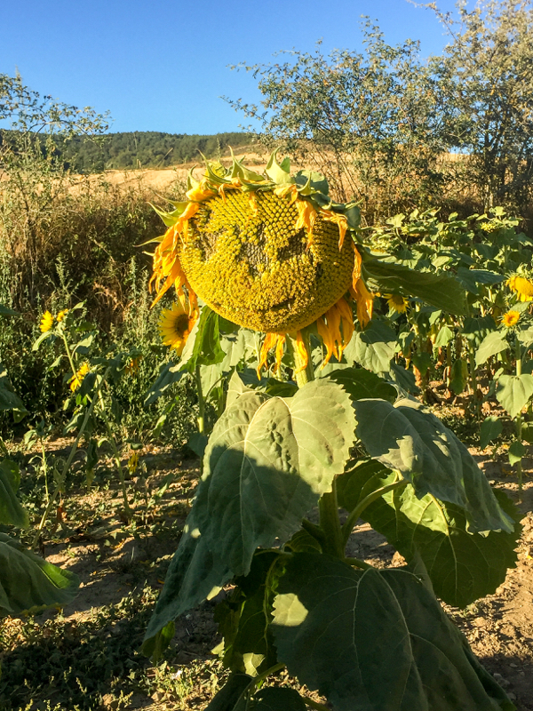 Sunflowers on the Camino Frances Day 12 Belorado to Villafranca Montes de Oca on eatlivetravelwrite.com