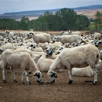 Sheep on the route walking from Atapuerca to Burgos on the Camino de Santiago on eatlivetravelwrite.com