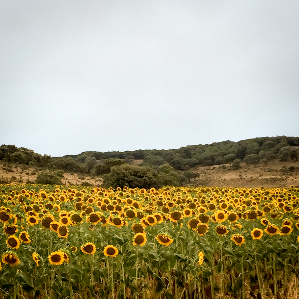 Sunflowers on the route walking from Atapuerca to Burgos on the Camino de Santiago on eatlivetravelwrite.com