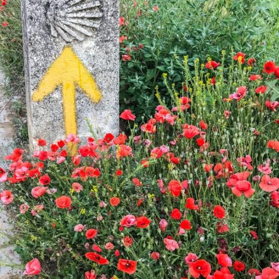 Camino signs and red flowers walking from Carrión de los Condes to Calzadilla de la Cueza on eatlivetravelwrite.com