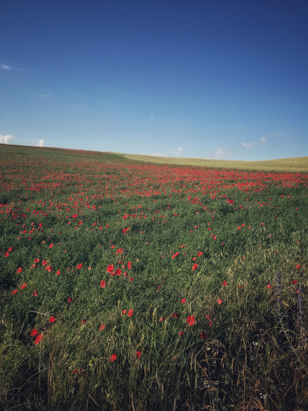 All the poppies walking from Hornillos del Camino to Catrojeriz with Camino Travel Center on eatlivetravelwrite.com