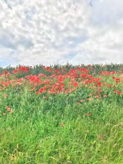 Poppies along the way Walking from Burgos to Hornillos del Camino with camino Travel Center on eatlivetravelwrite.com