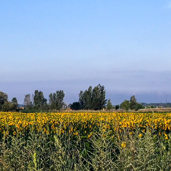 Sunflowers Walking the Camino de Santiago: Villavante to Astorga wit Camino Travel Center on eatlivetravelwrite.com