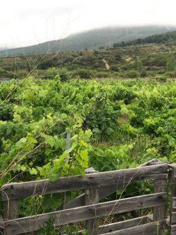 Gorgeous vineyards walking the Camino de Santiago: Ponferrada to Villafranca del Bierzo with Camino Travel Center on eatlivetravelwrite.com