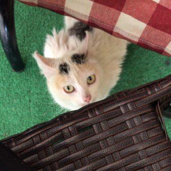 Cat in restaurant walking the Camino de Santiago: O Cebreiro to Triacastela with Camino Travel Center on eatlivetravelwrite.com
