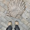 Camino shell on the ground walking the Camino de Santiago: Villafranca del Bierzo to :as Herrerías with Camino Travel Center on eatlivetravelwrite.com