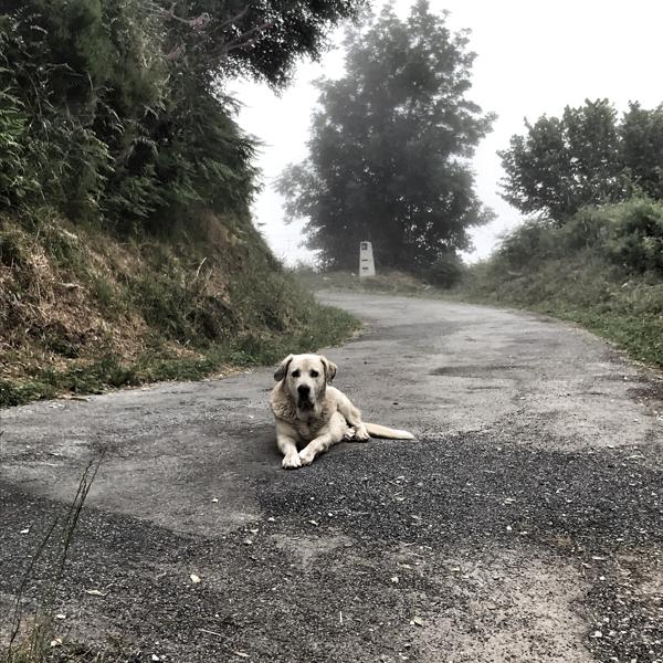 Guard dog walking the Camino de Santiago: O Cebreiro to Triacastela with Camino Travel Center on eatlivetravelwrite.com